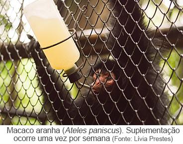 Macaco Aranha (Ateles paniscus). Suplementação ocorre uma vez por semana.