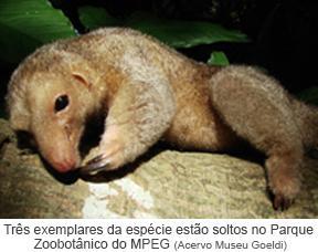Três exemplares da espécie estão soltas no Parque Zoobotânico do MPEG