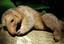 Três exemplares da espécie estão soltas no parque zoobotânico do mpeg.png