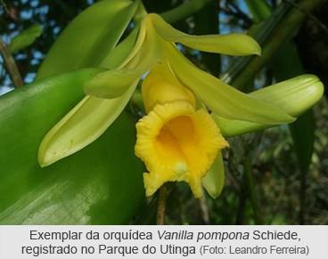 Exemplar em floração da orquídea Vanilla pompona Schiede