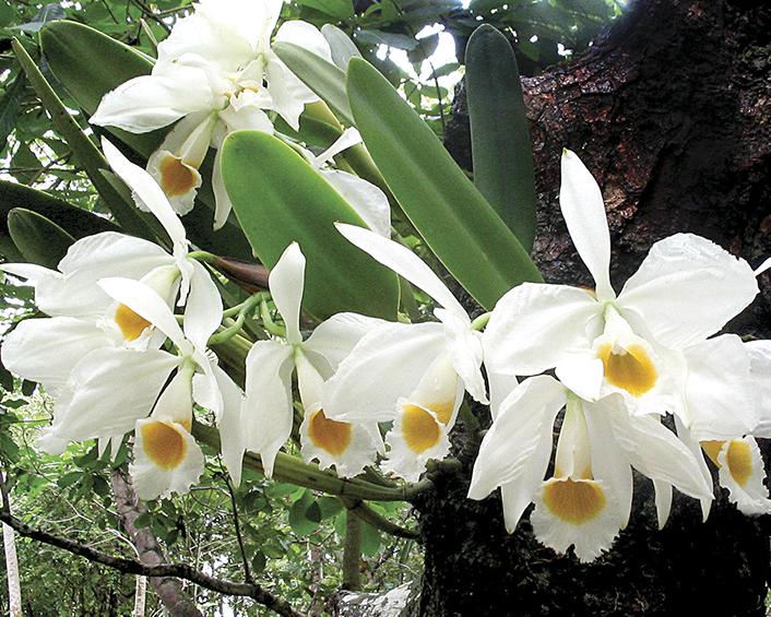 Cattleya eldorado alba.png