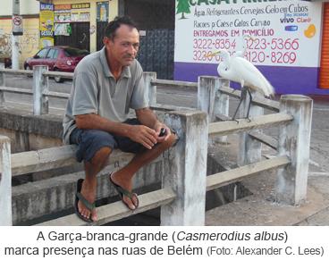 A Garça-branca-grande (Casmerodius albus) marca presença nas ruas de Belém