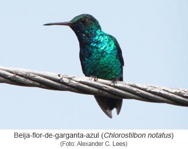 Beija-flor-de-garganta-azul (Chlorostilbon notatus)