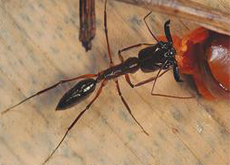Mais de 200 espécies são registradas no livro Formigas do Alto Tietê.