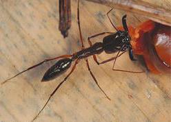 Mais de 200 espécies são registradas no livro Formigas do Alto Tietê.png
