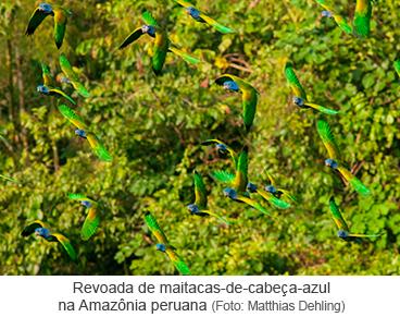 Revoada de maitacas-de-cabeça-azul na Amazônia peruana