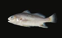 Bairdiella goeldi.png