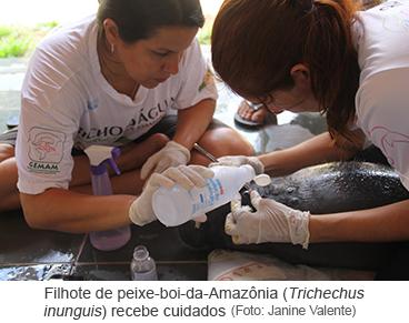 Filhote de peixe-boi-da-Amazônia (Trichechus inunguis).png