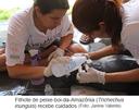 Filhote de peixe-boi-da-Amazônia (Trichechus inunguis)