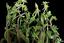 Planta da especia Bacopa Monnierioides.png