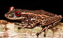 """O projeto DoTS (""""Documenting Threatened Species"""") envolve a colaboração de diversos cientistas e instituições do Brasil e do exterior. Biólogos também vão tentar identificar se espécies ameaçadas são mais suscetíveis a um fungo que vem dizimando espécies de sapos no mundo inteiro."""
