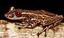 Projeto documenta espécies de anfíbios ameaçados de extinção no Brasil - Miniatura.png