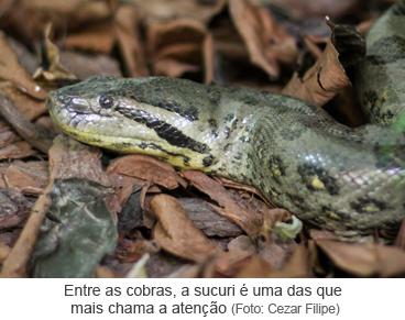 Entre as cobras, a sucuri é uma das que mais chama a atenção