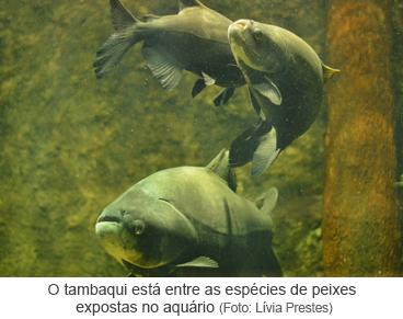 O tambaqui está entre as espécies de peixes expostas no aquário