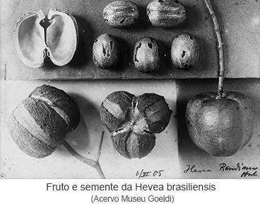 Fruto e semente da Hevea brasiliensis