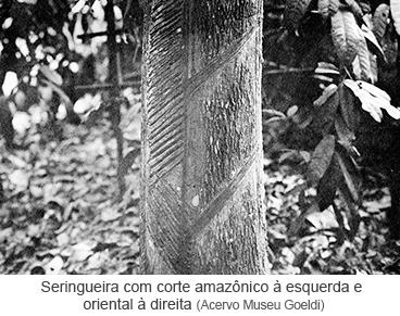 Seringueira com corte amazônico à esquerda e oriental à direita.png