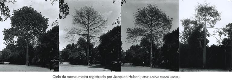 Ciclo da samaumeira resgistrado por Jacques Huber.png