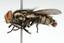 Nova espécie de mosca.png