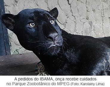 A pedidos do IBAMA, onça recebe cuidados no Parque Zoobotânico do Museu Goeldi