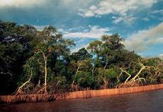 Floresta do mangue cercada para pesca no Dalte Amazonas.