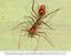 Aranha formiga.png